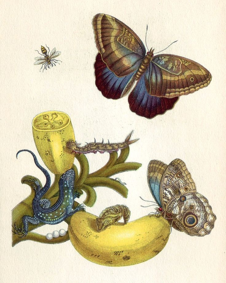 Metamorphosis insectorum Surinamensium, Maria Sibylla Merian. Antique natural history art.