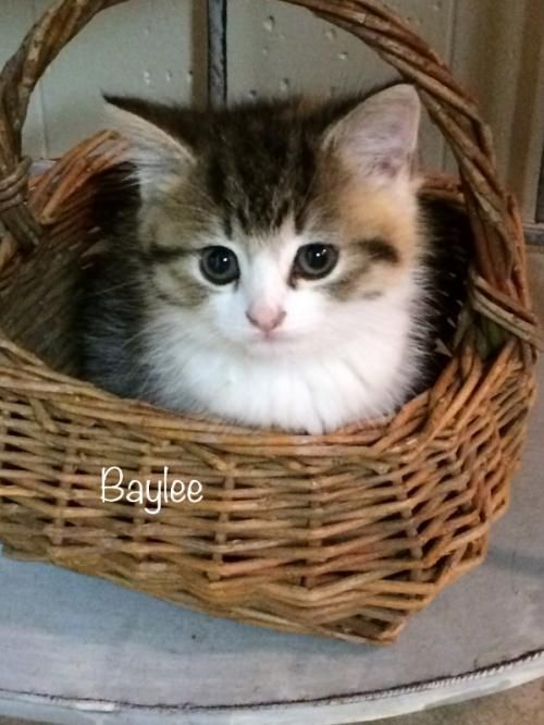 Baylee Female Manx Kitten is an adoptable Manx searching for a forever family near Knoxville, TN. Use Petfinder to find adoptable pets in your area.