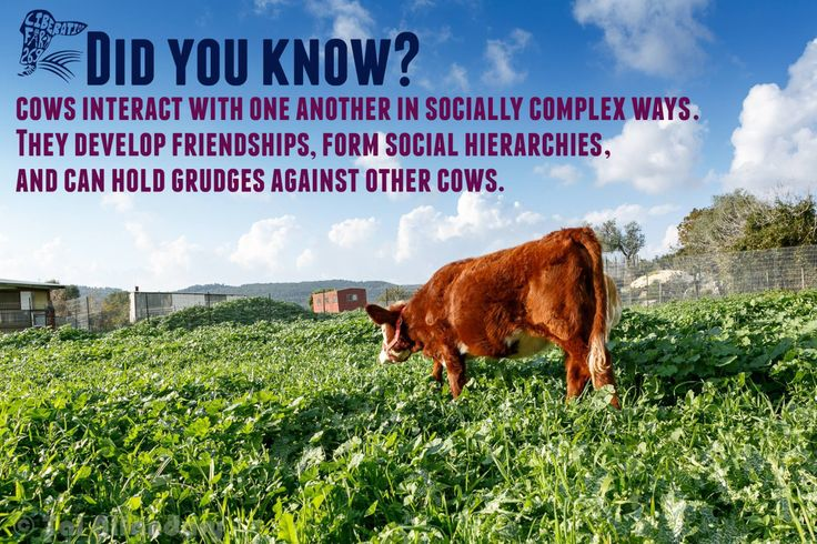 Cows are incredibly smart and affectionate. Please don't eat them! Go #Veg www.ChooseVeg.in/
