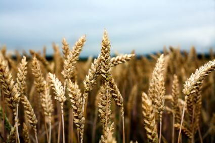 Wheat field, Saskatchewan