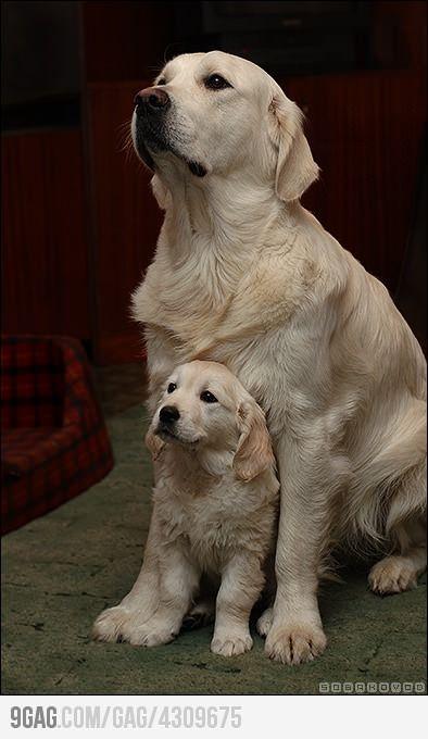 so sweet: Labrador Retriever, Labs, Puppies, Sweet, Dogs, Pet, Mornings Coff, Animal, Golden Retriever