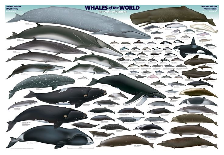 List of Porpoise Species | Megalodon Blue Whale Size Comparison Megalodon shark
