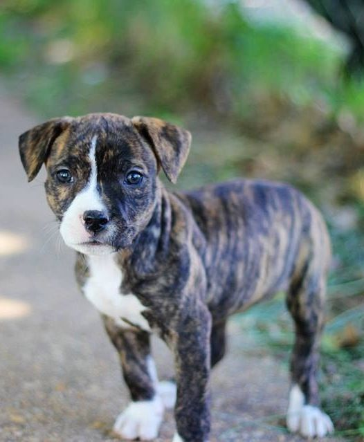 Beautiful Pitt Bull Puppy. I want