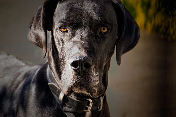 Great Dane!! Origin - Germany Vital status : Height - 4 inches to 2 feets. Weight - 100-200 pounds Life span - 7 -10 years. Health Grooming: Good. Adaptability : Average in apartments. Kinship: Excellent. 2-4 meals per day. Meals varies by age.
