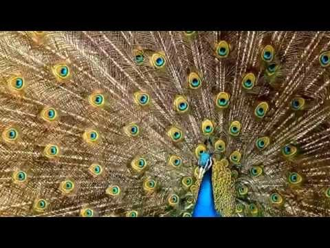 Peacock facts: 10 facts about Peacocks - YouTube