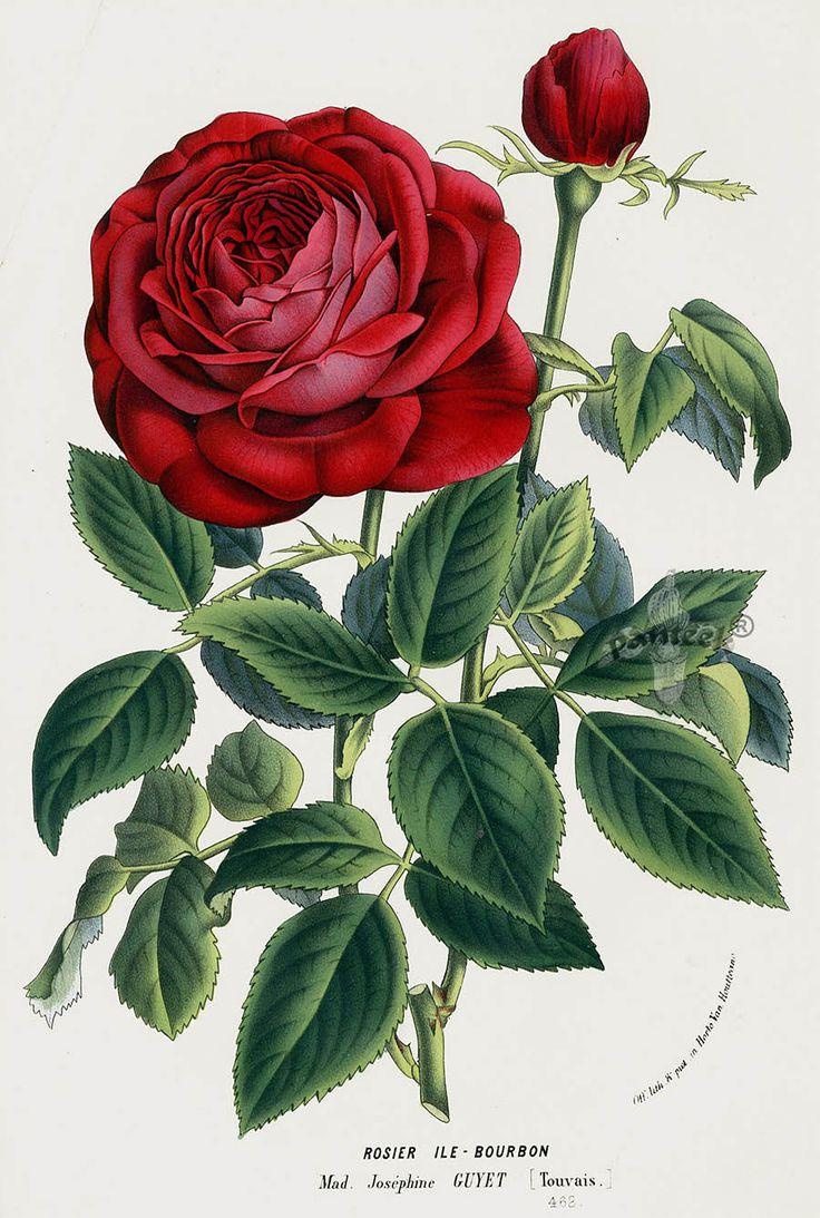 WOW!  1845 Charles Lemaire Flore de Serres Rose Prints                                                                                                                                                                                 More