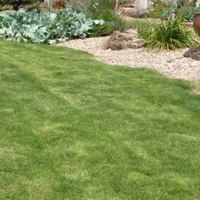 Cynodon hybrida Dog Tuff | Dog Tuff Cape Buffalo Grass | Low Water Plants, Eco Friendly Landscapes | High Country Gardens Low water, dog pee resistant. What's not to love?