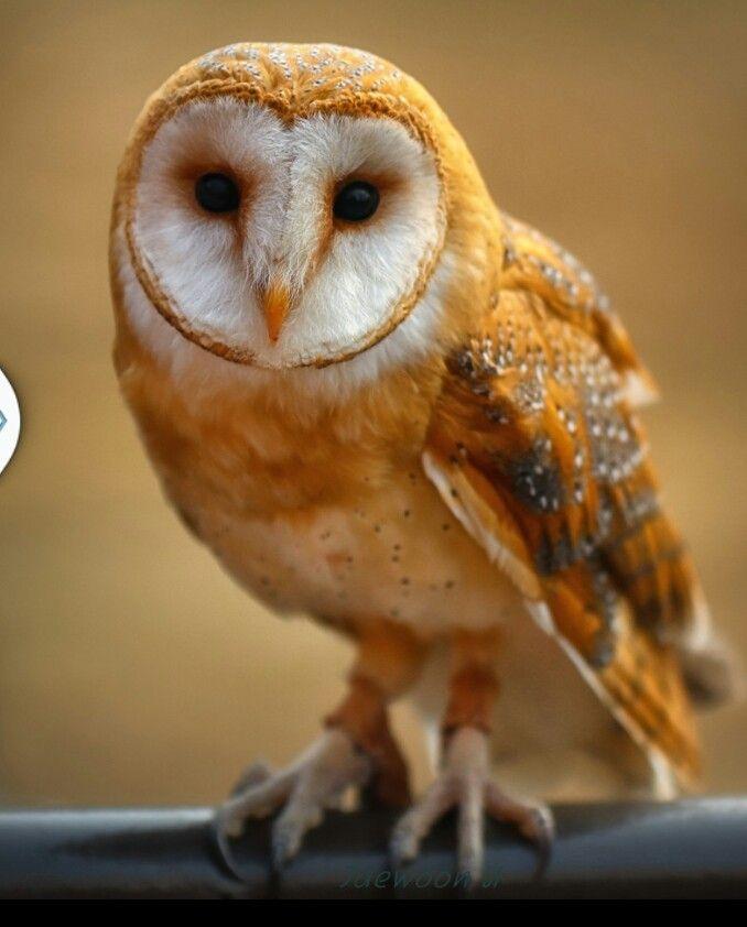 The 25+ best Baby barn owl ideas on Pinterest | Beautiful ...