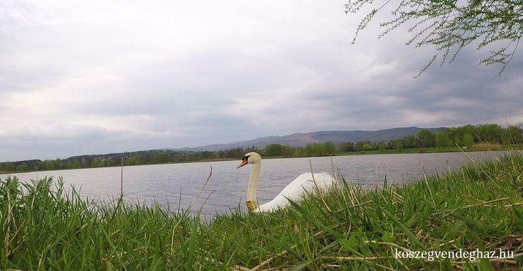 Abért-tó Kőszeg #kőszeg #hattyú #tó #borus