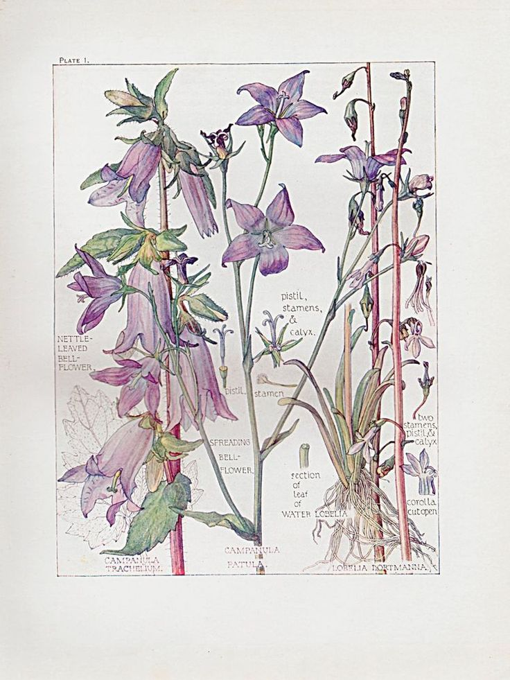 Botanical Print - Bell Flower - Isabel Adams - British Wild Flowers