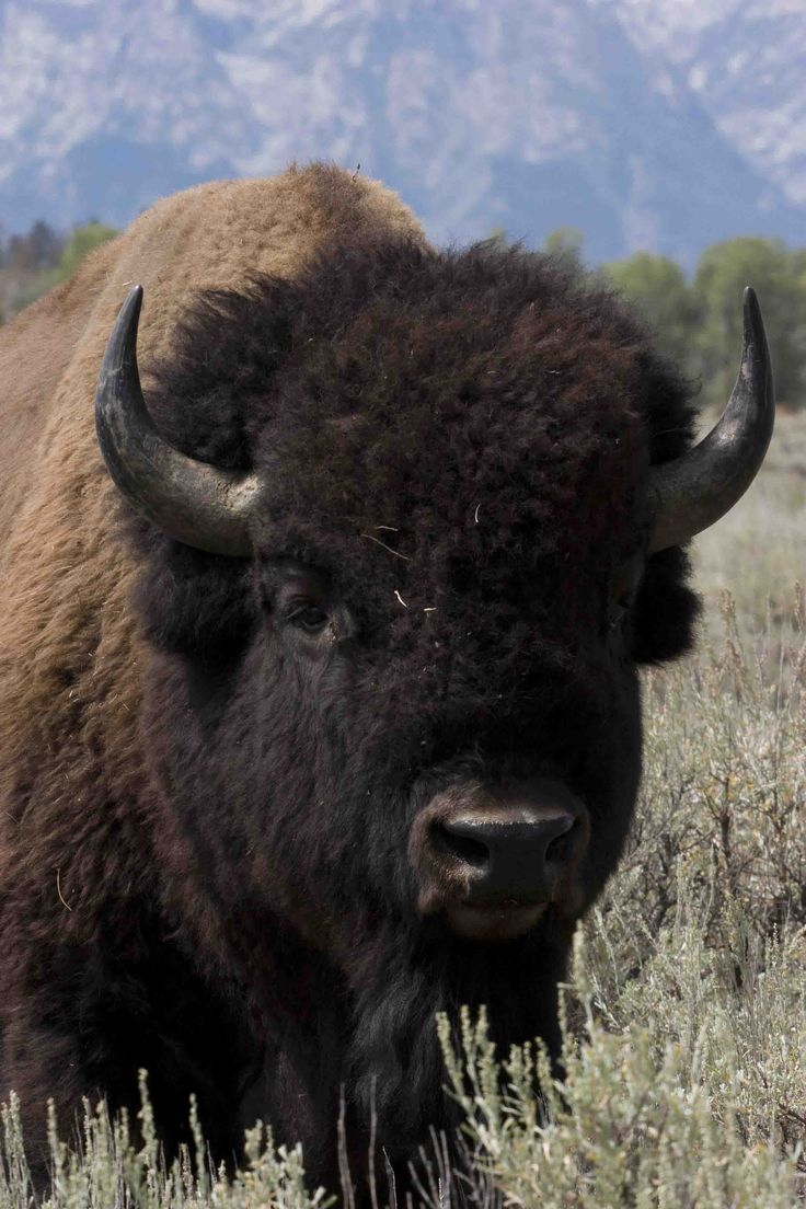 Bison... is it wrong that I think he's cute?