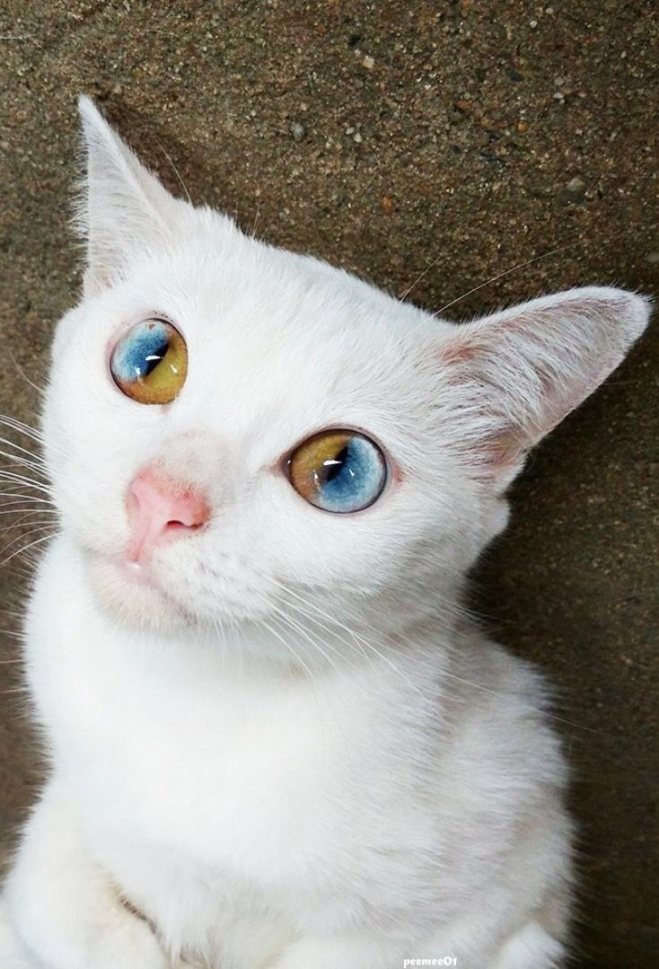 Color cats like - In Sectoral Heterochromia Iridis Part Of One Iris Is A Different Color From Its Remainder My First Love Had This In One Eye But It Was Like A Pie Piece