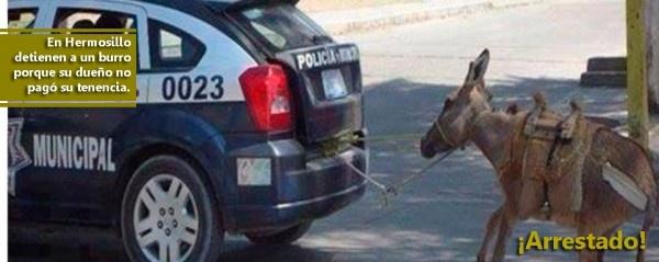 Arrestan un burro porque su dueño no pagó la tenencia  HERMOSILLO, Sonora / 8 de febrero.  Puente Libre * La policía municipal de Hermosillo decomisó y maltrató a un burro luego de enterarse que su dueño no pagó la tenencia por él.