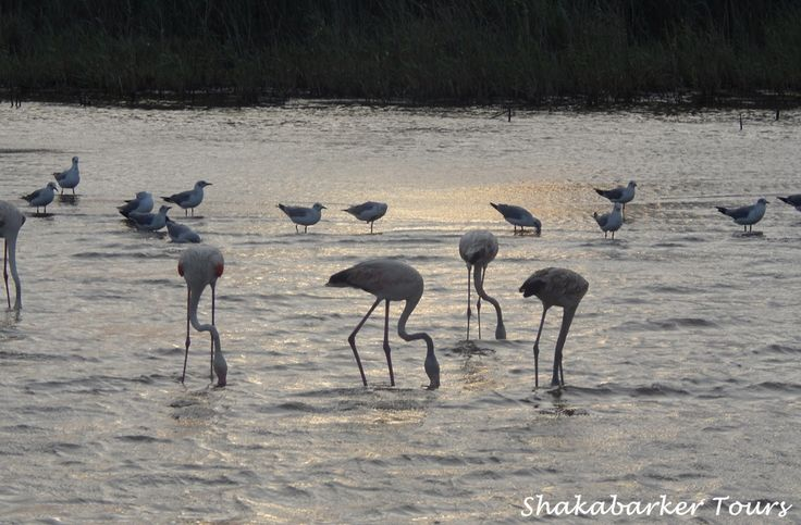 Flamingoes and other birds on Lake St Lucia