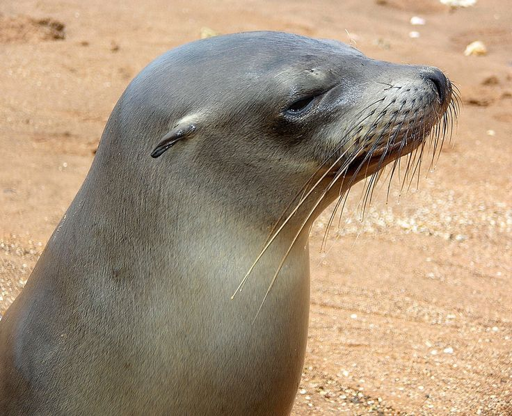 Do you think a sea lion is the same as a seal? You are not the only one to make this mistake. Learn more Sea Lion Facts for Kids, one interesting fact about