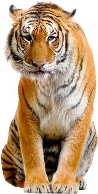 Fensterfolie - Fenstersticker No.272 Sitzender Tiger - Fensterbilder Jetzt bestellen unter: https://moebel.ladendirekt.de/dekoration/wandtattoos/wanddekoration/?uid=b4d182a6-742d-5b38-b3e1-edc35220f374&utm_source=pinterest&utm_medium=pin&utm_campaign=boards #heim #tattoos #dekoration