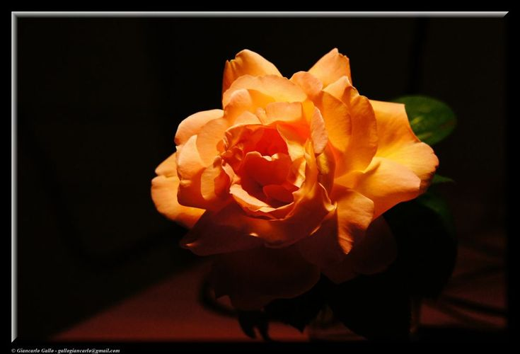 Rose by Giancarlo Gallo