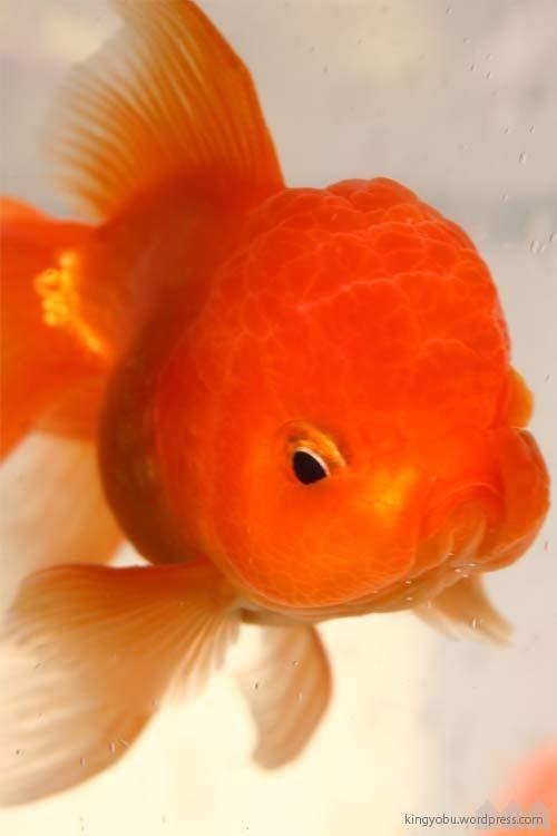 baloon head 金魚