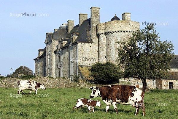 vaches normandes photos | ... elevage bovin vache agriculture descriptif vache de race normande et
