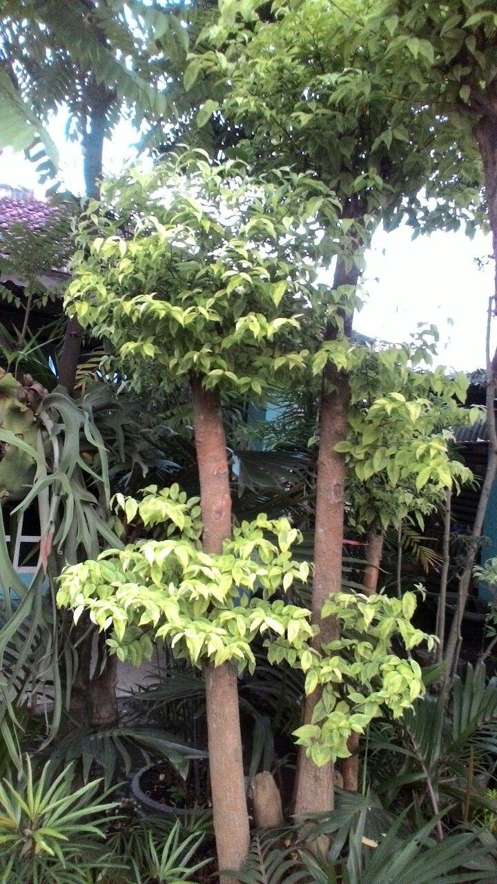 Anting putri Pohon bonsai, Bonsai, Pohon