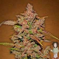 Get the best quality autoflowering seeds which are far better than normal ones at the most competitive rates.