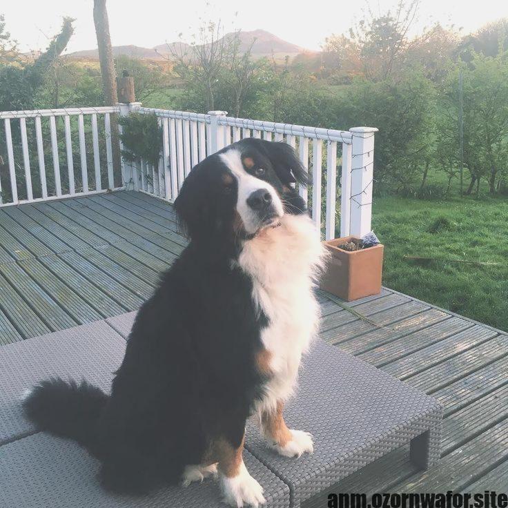 Terrific Absolutely Free Bernese Mountain Dogs Golden Retriever