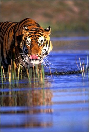 Bengal Tiger in Northern India. A very beautiful but sadly an endangered species.