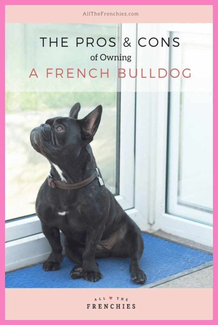 French Bulldogs Full Grown Puppies In 2020 French Bulldog Breed French Bulldog Blue French Bulldog Dog