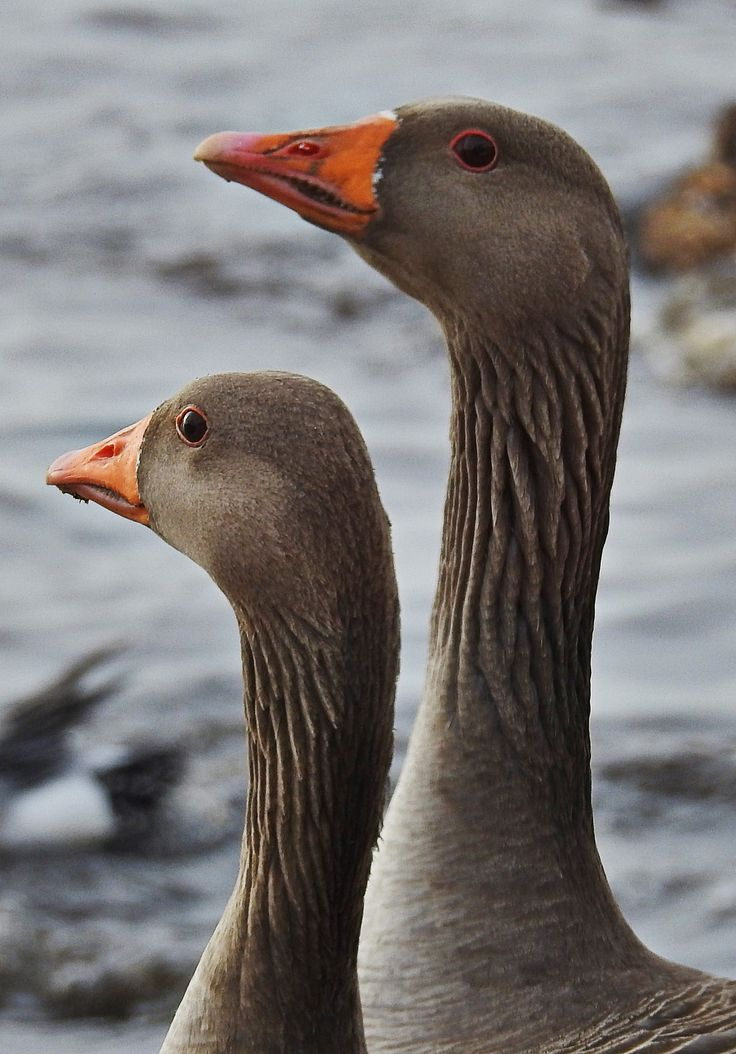 Two of the many pink footed geese at Martin Mere, Burscough, Nr Southport.  Taken during the swan feed