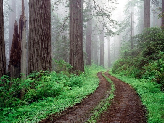 Redwoods: Forests, Favorite Places, Nature, California, Places I D, Redwood National, National Parks, Road, Travel