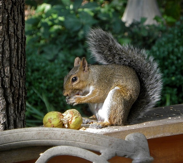 This squirrel -and his buddies - hide walnuts in my garden every fall - and every spring I have to pull out numerous walnut seedlings - Darn Squirrel -