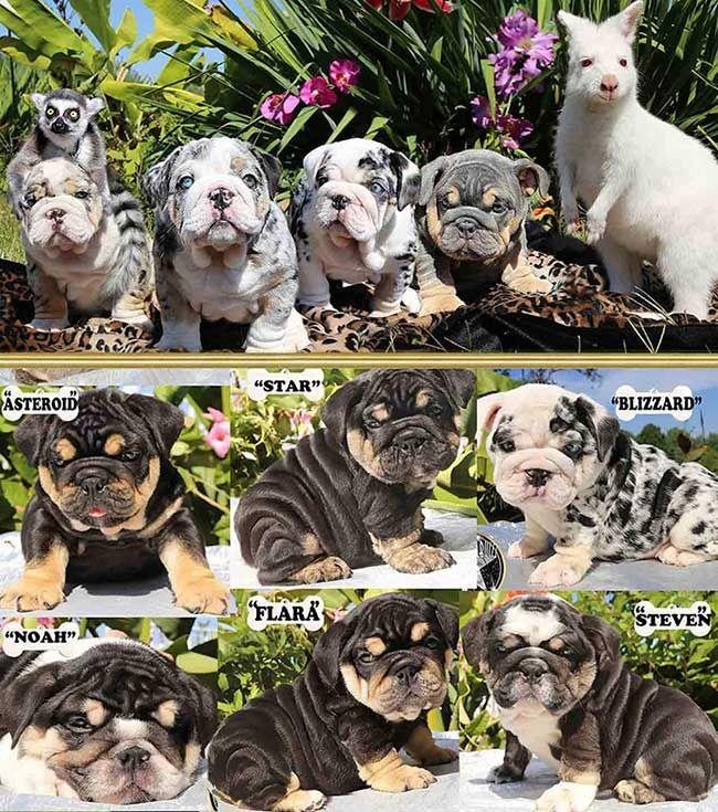 Shrinkabull S Tri Blue Merle Litter English Bulldog Puppies For Sale English Bulldog Puppies Bulldog Puppies Bulldog Puppies For Sale