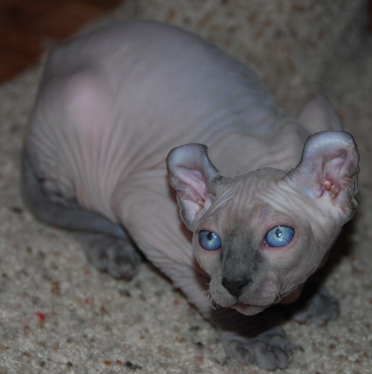 gato elfo / elf cat  http://www.lareserva.com/home/gatos_sin_pelo  http://www.thefeaturedcreature.com/2011/12/6-strange-breeds-of-hairless-cats.html#axzz24WcTt6VX