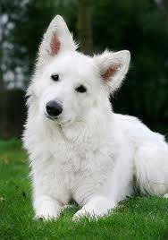 Witte zwitserse herdershond; toekomstige hond van mijn liefje