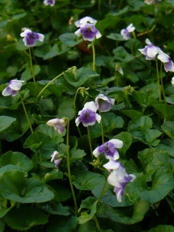 Trailing Violet, Australian Violet, Ivy-Leaved Violet