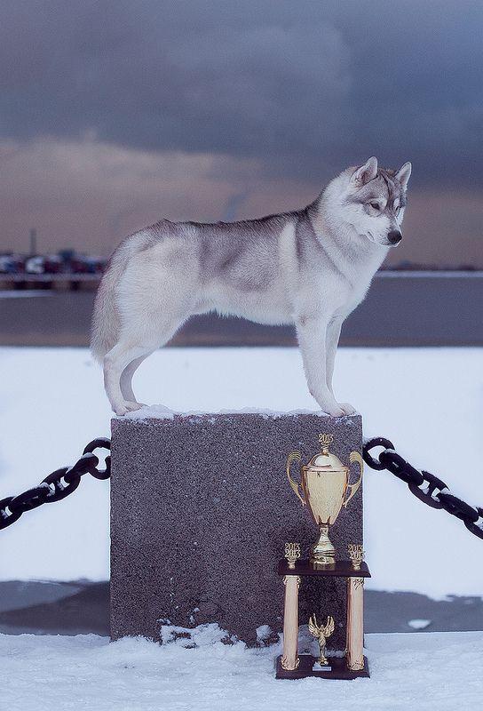 Champion Siberian Husky