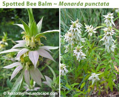 restoring the landscape with native plants anise hyssop native plantsbeewildflowersgarden ideasillinois - Flower Garden Ideas Illinois