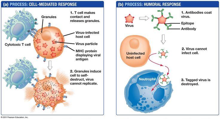 Antibody-mediated immune response