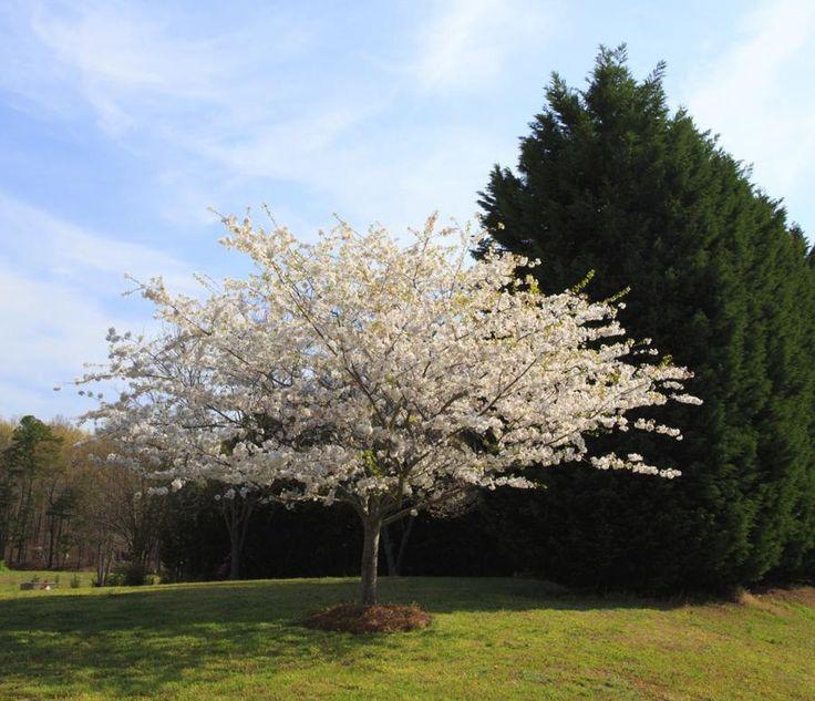 bradford pear flowering pear tree