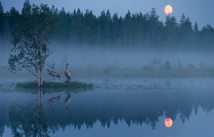 Cranes at night Palkitut   Vuoden Luontokuva Jouni Mäkipelto