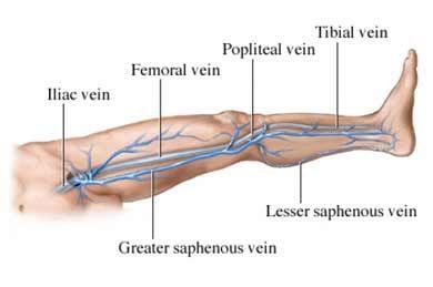 venous drainage of lower limb pdf