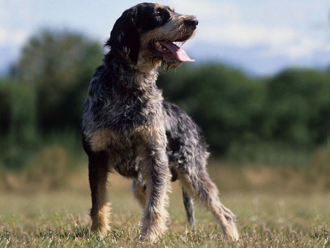blue gascony griffon | Bleu de Gascogne : chien et chiot. Blue Gascony Hound, Basset bleu de ...