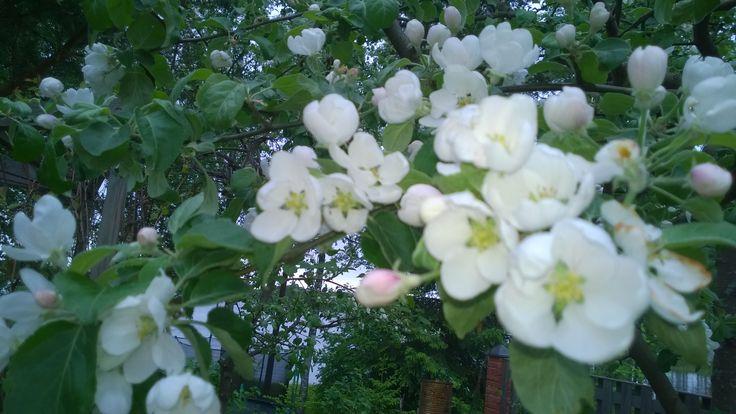 #karhunatukka  #kevät #luonto #piha #puutarha #Puruvesi  #Punkaharju #Suomi #houseforsale #Finland #berry   #spring #garden