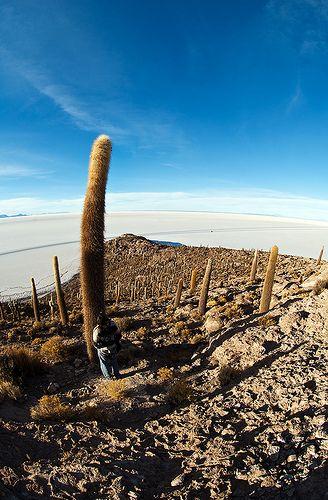 Trichocereus pasacana, Isla del Pescado, Salar de Uyuni, Bolivia