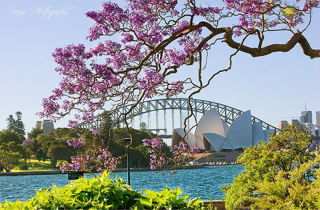Jacaranda trees are in full bloom in Sydney this week. Beautiful purple trumpets that weigh the boughs to the ground. So lovely!