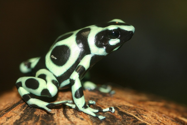 I've actually seen this kind of frog in nature (in Nicaragua)