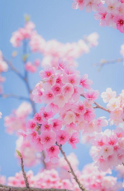 It's cherry blossom time in Washingon!  visualechoess:  Sakura - (via)
