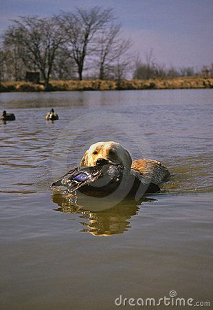 retriver in water with duck | Yellow Labrador Retriever With Duck Stock Photos - Image: 13114393