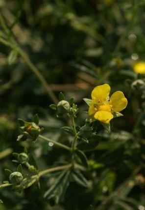Vérontó pimpó, vérontófű  (Potentilla erecta)