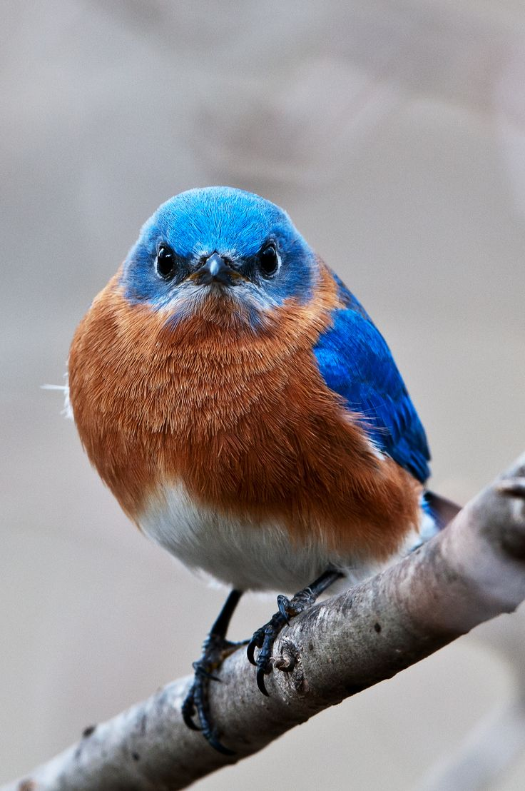 226 best bluebirds images on pinterest bluebirds feather and